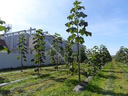 paulownia-plantation-1