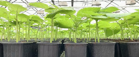 paulownia-seedlings-2_edited.jpg