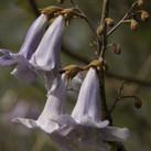 paulownia-blossom-flower