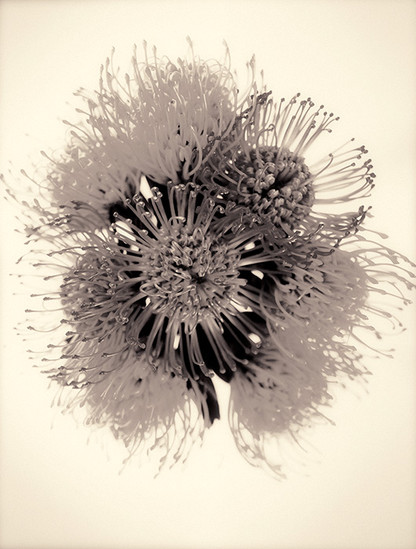 PROTEA COLLECTION #2 by Martin Osner
