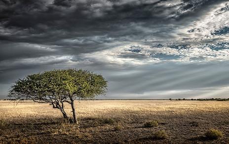 LONE GHOST TREE