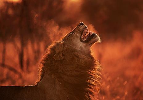 LONDOLOZI LION