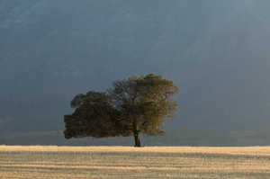 Solitary tree photographed against the blue background of a mountain.