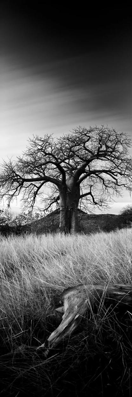 Baobab Legacy | Koos van der Lende | Limited Edition (25)