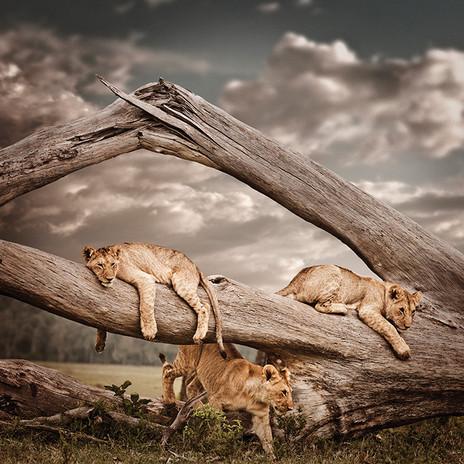 Martin-Osner-Gallery_Pride-of-Africa_K.T