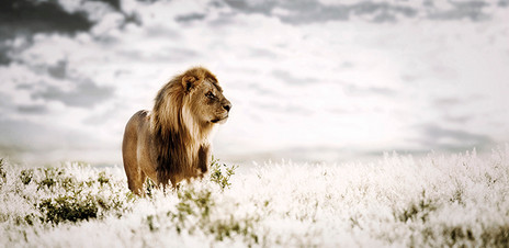 PRIDE OF AFRICA by Klaus Tiedge