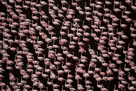 STAND OF FLAMINGOS by Greg du Toit