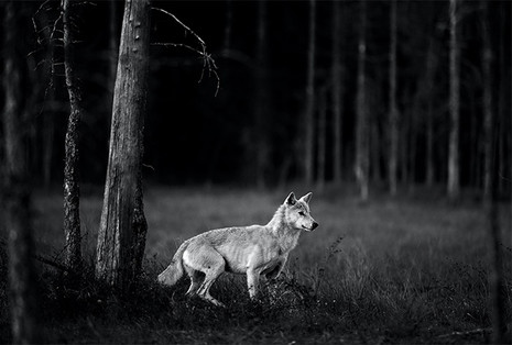 THE WHITE WOLF by Greg du Toit