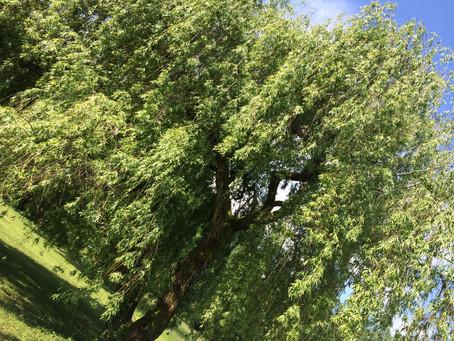 L'énergie des arbres guérisseurs