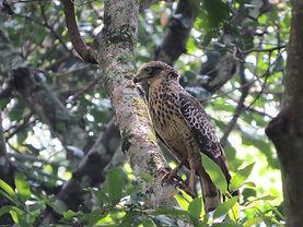 Juvenile crested serpent eagle.jpg