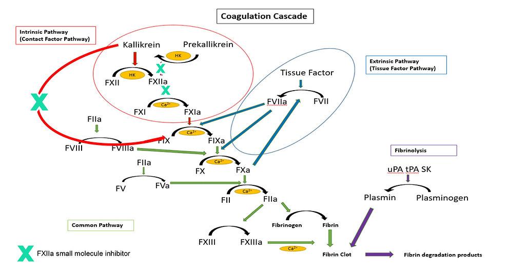 Coagulation Cascade Diagram