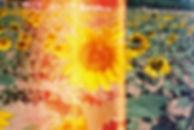 10800_sunflowerscan_1.jpg