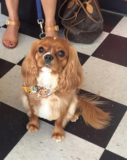 Rudy the Cavalier King Charles