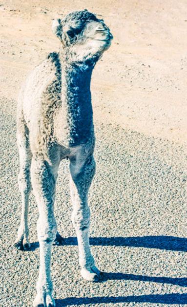 Baby camel in Sahara