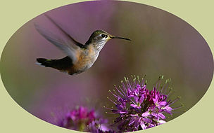 Photo_colibri,-vol,-fleur-violette_fond_