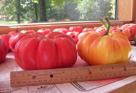 Lunker tomato year