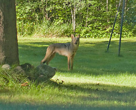 Wolf in the back yard.