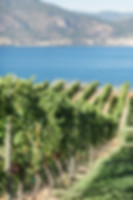 Portrait_vineyard_Bench_1775_grapes-comp