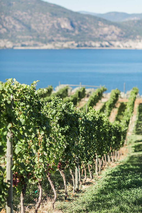 Portrait_vineyard_Bench_1775_grapes-comp