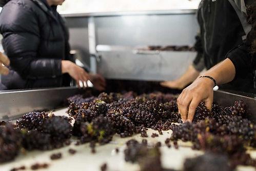 Crushpad_grapes_sorting_Pinot_Noir-compr