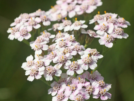 Uncommon Yarrow: Skin, Body, Spirit
