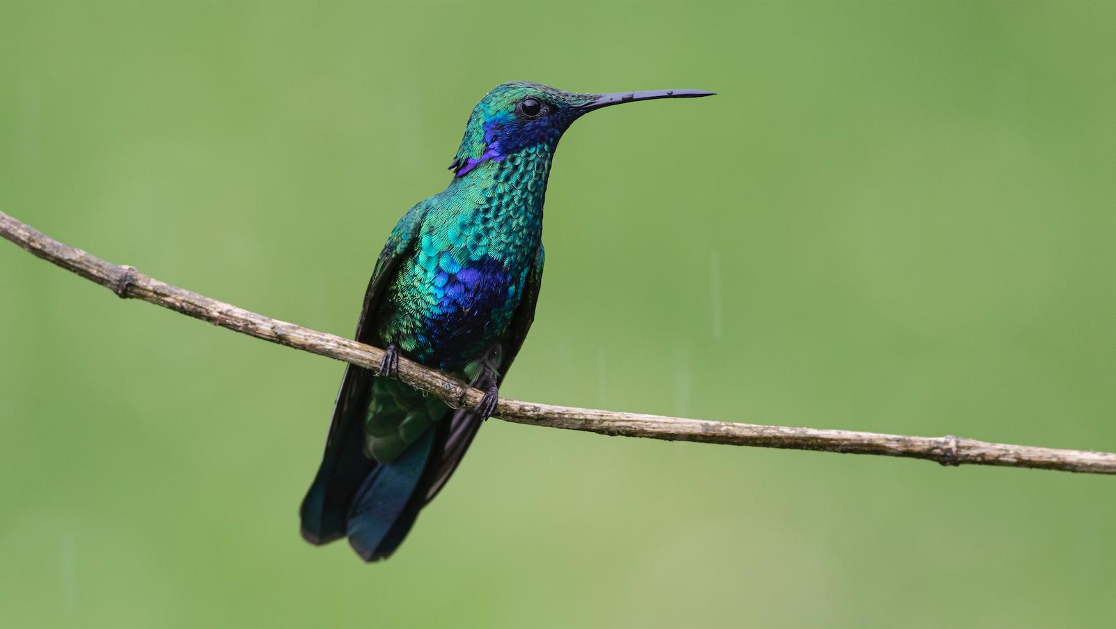 Colibri Coruscans - Sparkling Violet