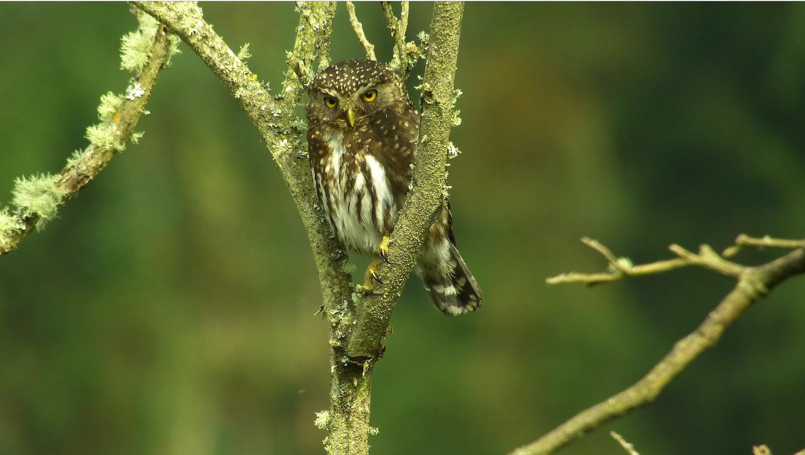 Glaucidium Jardini-Andean Pygmy Owl