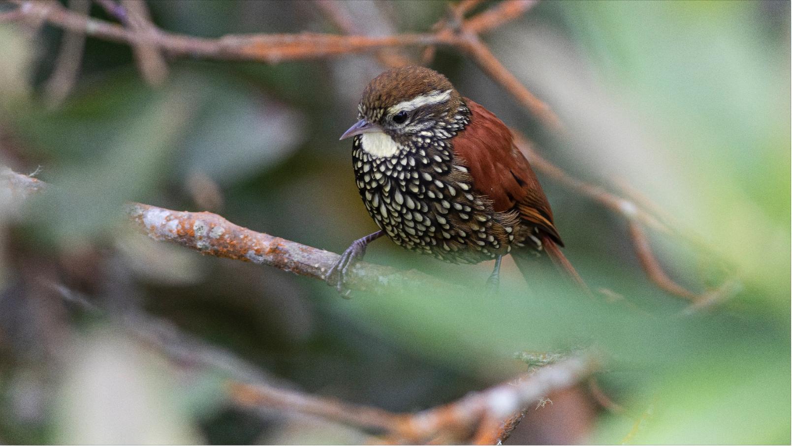 Margarornis Squamiger - Pearled Tree