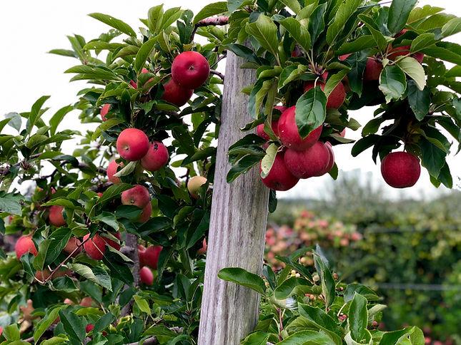 apples_red.jpg