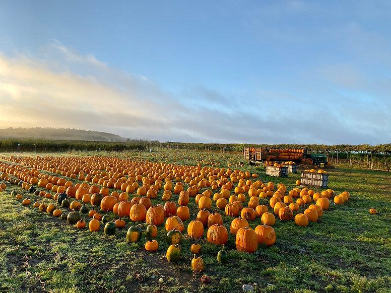 pumpkins in the morning.jpg