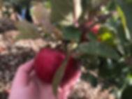Les Vergers Boileau - La nouvelle pomme Ariane de Hapi