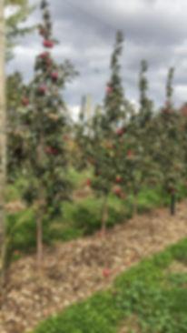 Les Vergers Boileau - Pommiers de la variété Ariane
