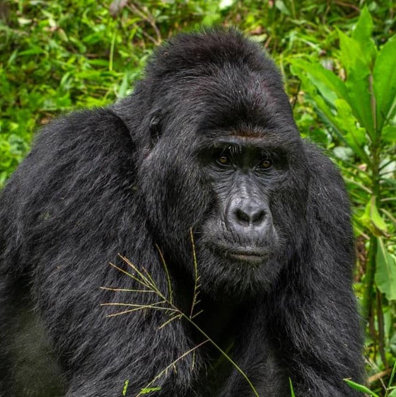 Uganda Poacher Given 11 year Jail Sentence For Killing Famous Gorilla Rafiki