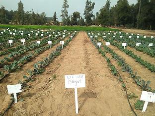The Salt Doctors - Salt tolerant crops in the field
