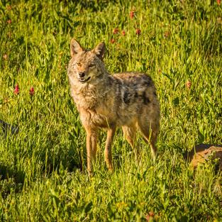 Albion Basin Coyote by John Frawley