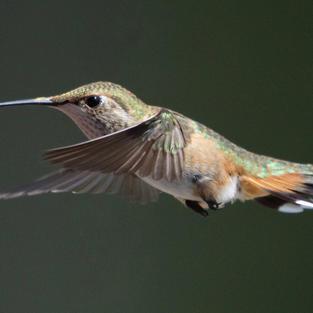 Hummingbird by Jacob Hiller