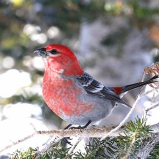 Janice Gardner Pine Grosbeak male.jpeg