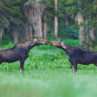 Kissing Moose by Joe Crilly