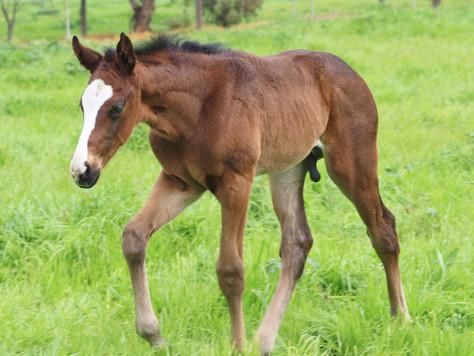 Serious first foals for Toronado