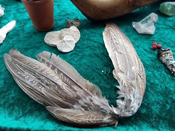 Wild Pheasant Wing Tips