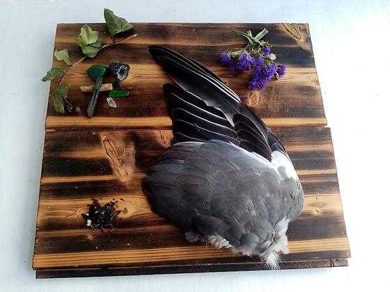 Wild Pigeon Wing