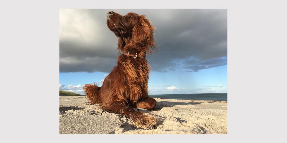 Fotografie Irish Setter