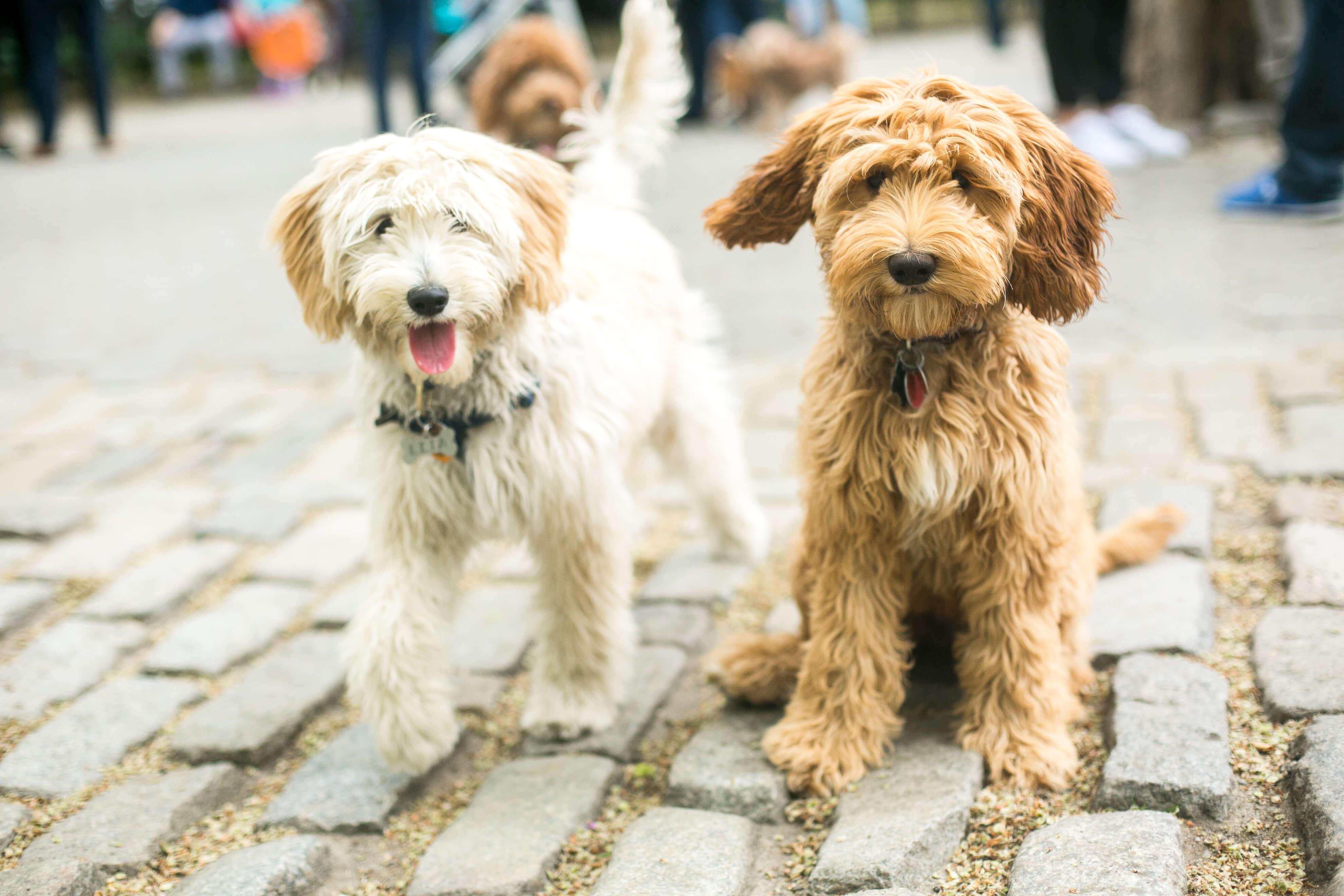 International Doodle Dog Day