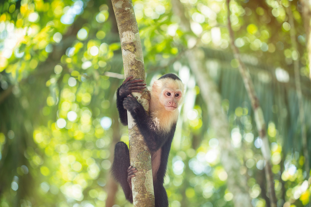 Costa Rica Manuel Antonio National Park White Faced Monkey