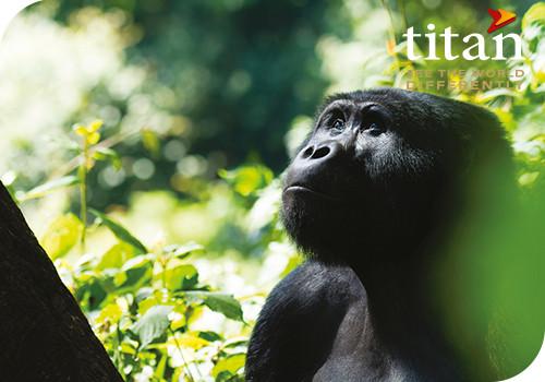 Great Apes of Uganda