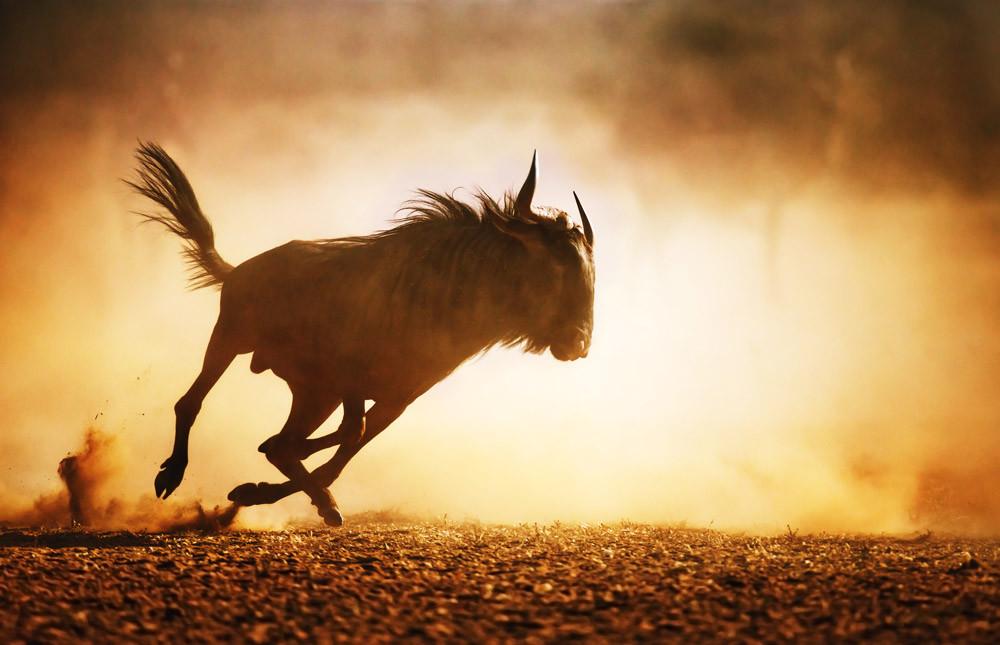 Wildebeest - Kalahari Desert