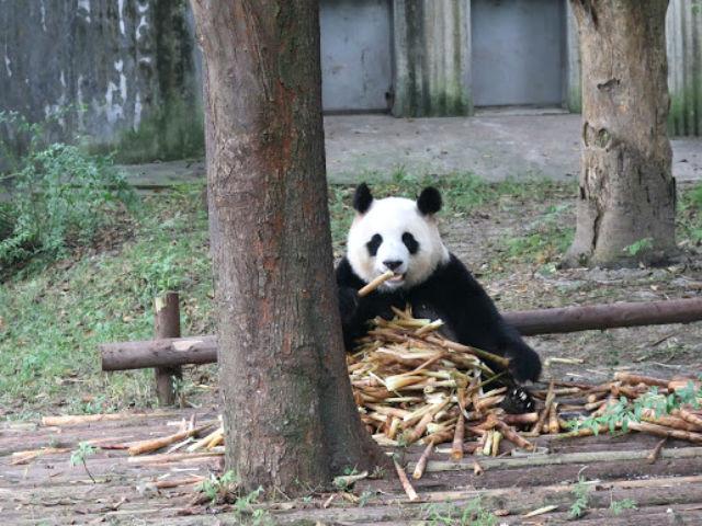 An all-you-can-eat buffet for Pandas