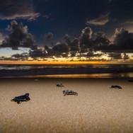 Turtle Conservation, Kosgoda 3.jpg