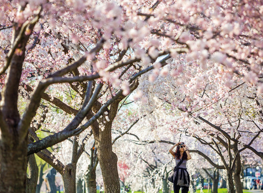 Experience of the Month: Cherry blossom in Japan