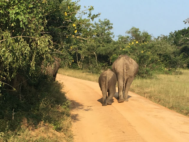 Probably the safest direction to see the elephants at Yala.